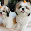 Shih Tzu Puppies Care Tips And Training Guide
