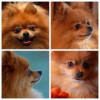 Common Pomeranian Dog Health Issues