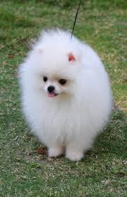 Pomeranian Puppies Care