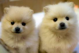 Pomeranian Puppies Care