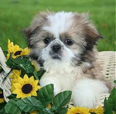 Shih Tzu puppies care