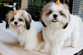 Shih Tzu Puppies Care Tips And Training Guide Kanineklub