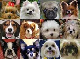 Small Dog Breed Info