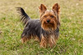 Best Small Dog Breeds